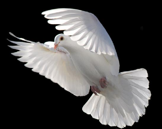 Funeral Doves, Wedding Dove Releases, White Dove Releases, white ...